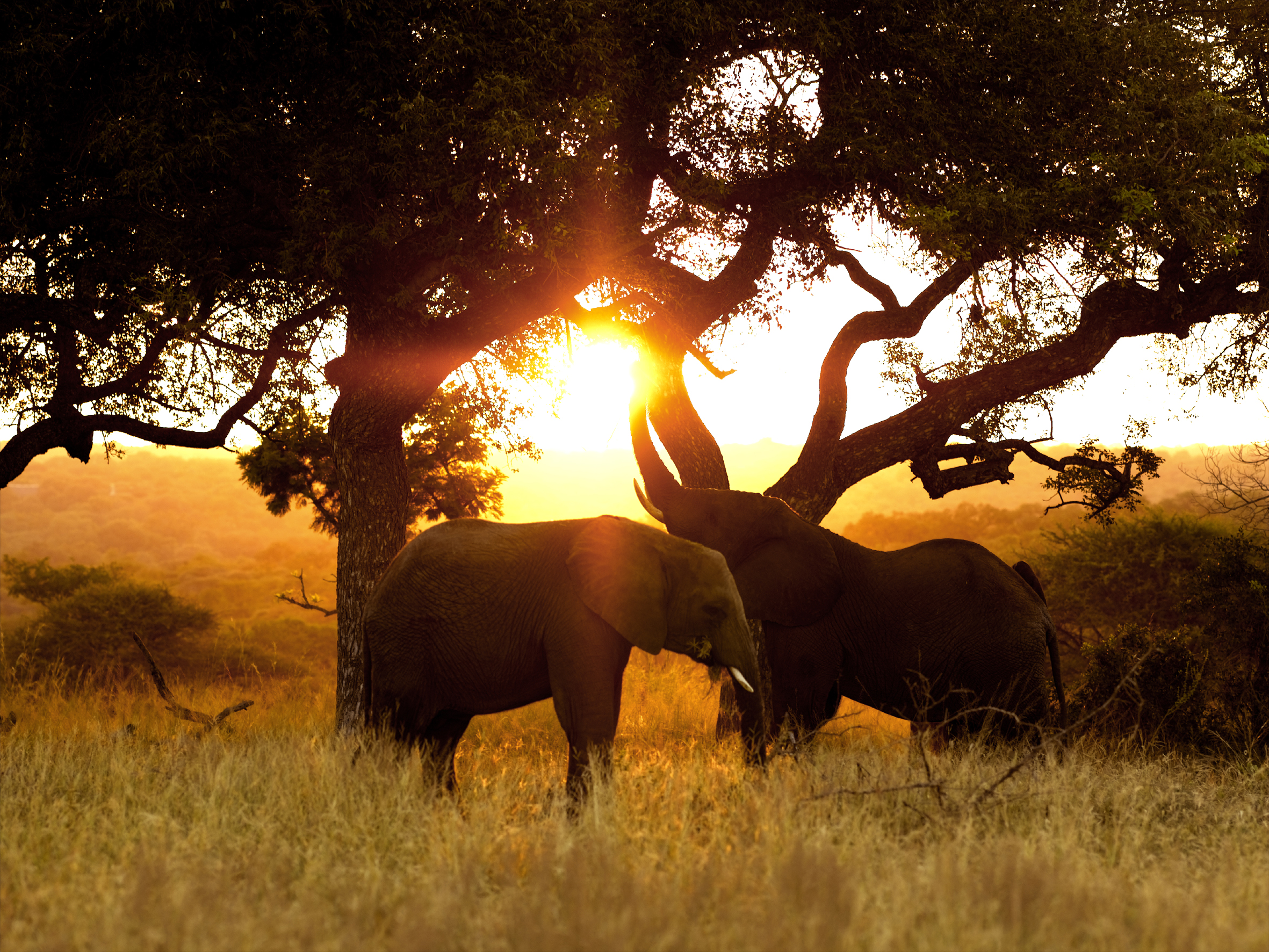 Elephants and marula trees 1 (HR)